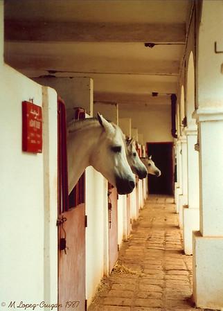 Pure Arab horses. Beatiful and elegant!